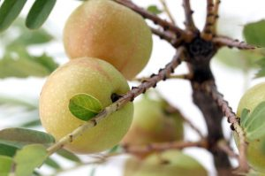 Read more about the article Antioxidans Amla: Die Frucht mit dem höchsten ORAC Wert